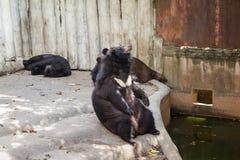 Asiatic black bear at Samut Prakan Crocodile Farm and Zoo, Thail Royalty Free Stock Photography