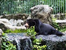 Asiatic black bear Stock Photography