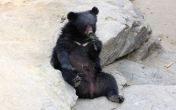 Asiatic black bear sitting on the ground Stock Images
