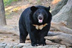 Asiatic black bear Royalty Free Stock Photos