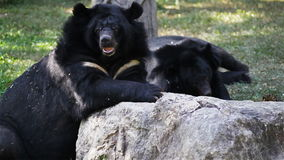 Asiatic black bear or Tibetan black bear, science names Ursus thibetanus, laying down and relax in HD stock video