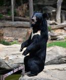 Asiatic black bear. Tibetan black bear at zoo Royalty Free Stock Images