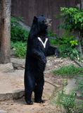 Asiatic black bear. Tibetan black bear at zoo Stock Photos