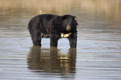 Asiatic Black Bear, Ursus thibetanus, Royalty Free Stock Photography