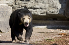 Asiatic black bear (Ursus thibetianus). In the Cologne zoo Stock Photo