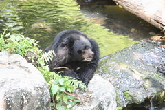 Asiatic black bear. In the water in thailand  zoo Royalty Free Stock Images