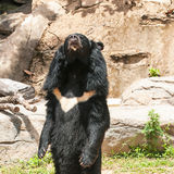 Asiatic black bear. In the zoo Stock Photography