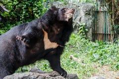 Asiatic Black Bear Royalty Free Stock Image