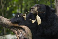 Asiatic czarny niedźwiedź Obraz Stock
