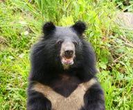 Asiatic czarny niedźwiedź Fotografia Stock