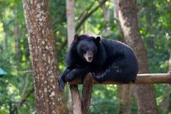 Asiatic Czarny niedźwiedź kłama na wspinaczkowym przyrządzie Fotografia Royalty Free