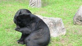 Asiatic czarny niedźwiedź (ursus thibetanus) zdjęcie wideo