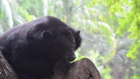 Asiatic czarny niedźwiedź (ursus thibetanus) zbiory wideo