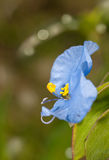Asiatic Dayflower Royalty Free Stock Photos