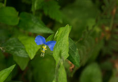 Asiatic Dayflower or Mouse Flower Royalty Free Stock Photos