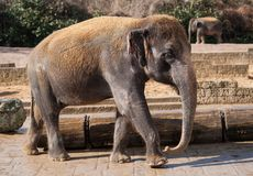 Asiatic elephant: Animal life in Asia Stock Images