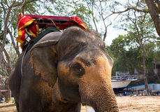 Asiatic elephant Royalty Free Stock Photos