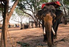 Asiatic elephant Stock Images