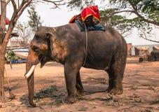 Asiatic elephant Stock Photo
