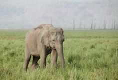 Asiatic elephant Stock Photos