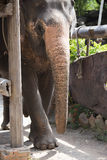 Asiatic  elephant. Asian elephant stand beside pole Stock Images