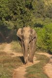 Asiatic Elephant, Corbett Tiger Reserve, Uttarakhand, India. Asiatic Elephant at Corbett Tiger Reserve, Uttarakhand, India royalty free stock photography
