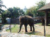 Asiatic Elephant Royalty Free Stock Photo