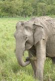 Asiatic elephant eating grass Royalty Free Stock Photos