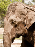 An asiatic elephant portrait Stock Photography
