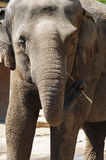 Asiatic elephant with toothpick Stock Photo