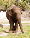 An asiatic elephant Stock Photo
