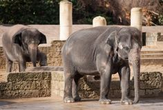 Asiatic elephants: Animal life in Asia Royalty Free Stock Image