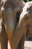 Asiatic Elephants (Elephas maximus). Friendship beetwen two Asiatic Elephants (Elephas maximus Royalty Free Stock Photo