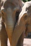 Asiatic Elephants (Elephas maximus). Friendship beetwen two Asiatic Elephants (Elephas maximus royalty free stock photo