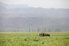 Asiatic elephants in the grassland Stock Photos