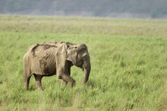 A Asiatic elephants in the grassland Stock Image