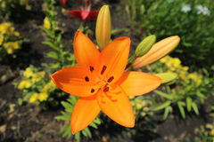 Asiatic hybrid lily `Apeldoorn` one orange flower and buds Royalty Free Stock Photography