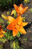 Asiatic hybrid lily `Apeldoorn` two orange flowers and buds Stock Image