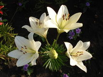 Asiatic hybrids lilium 'Apollo' white flowers and buds.  Royalty Free Stock Photos