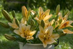 Asiatic hybrids lilium in bloom, orange and yellow color, in white bucket, in the garden, buds and flowers. Ornamental and beautiful Stock Photo