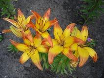 Asiatic hybrydowi lilium 'Cancun' pomarańcze i koloru żółtego kwiaty Fotografia Stock