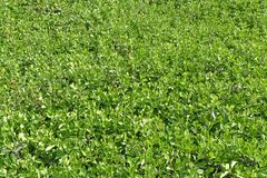 Asiatic jasmine with fresh growth in the spring. Asiatic jasmine covers a berm in the Deep South USA where it is used to control erosion. The plant is does not Stock Image