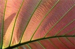 asiatic leafstruktur Royaltyfria Bilder