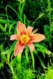 asiatic lelui pomarańcze Fotografia Stock