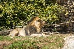 Asiatic lew, Jerozolimski Biblijny zoo w Izrael Obraz Royalty Free