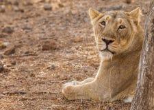 Asiatic lew kobieta Fotografia Stock