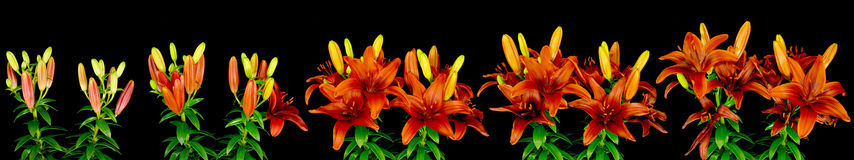 Asiatic Lilies Blooming. Time lapse sequence of asiatic lilies opening Stock Photo