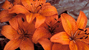 Asiatic Lillies with water royalty free stock image