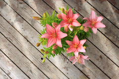 Asiatic lily Royalty Free Stock Image