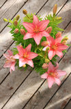 Asiatic lily Royalty Free Stock Images